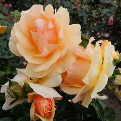 Růže mnohokvětá Tantau 'Hansestadt Rostock' - Rosa MK 'Hansestadt Rostock'