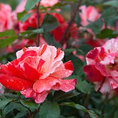 Růže mnohokvětá 'Hanky Panky' ('City of Carlsbad') - Rosa MK 'Hanky Panky' ('City of Carlsbad')