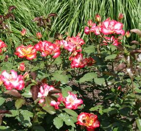 Růže mnohokvětá 'Betty Boop' - Rosa MK 'Betty Boop'