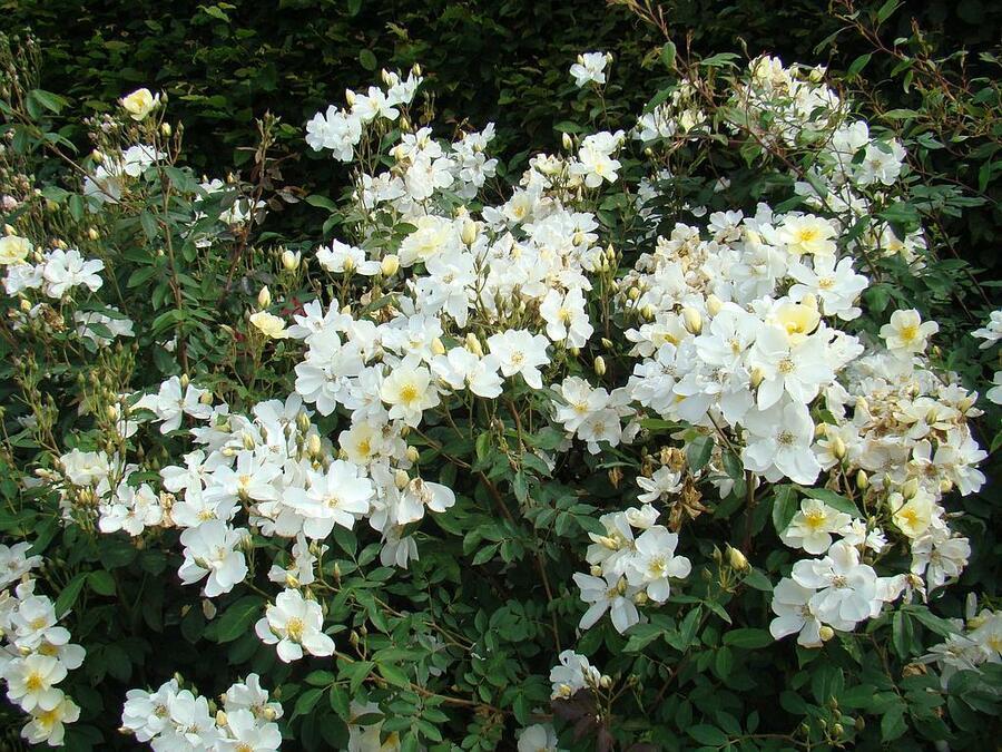 Růže mnohokvětá Lens 'Elisabeth Oberle' - Rosa MK 'Elisabeth Oberle'