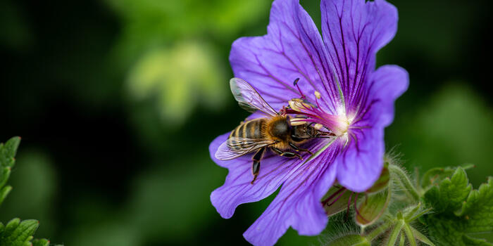 kakost a včela