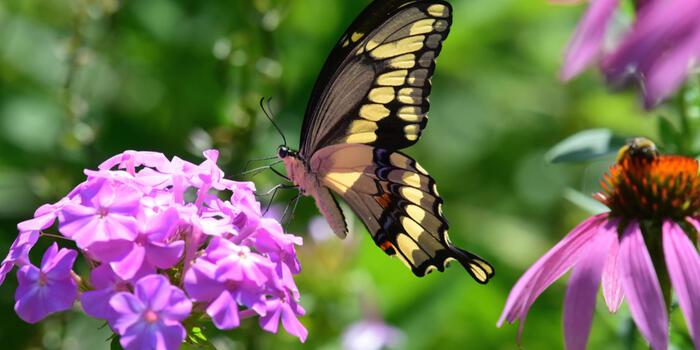 otakárek ovocný na plaménce a v pozdí včela na echinacei
