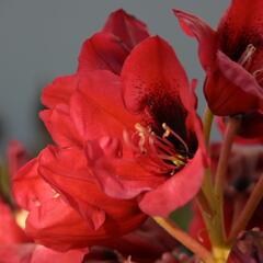 Pěnišník 'Red Devil' - Rhododendron 'Red Devil'