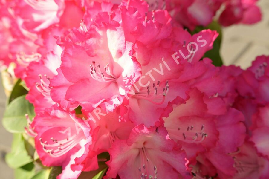 Pěnišník 'XXL' - Rhododendron 'XXL'