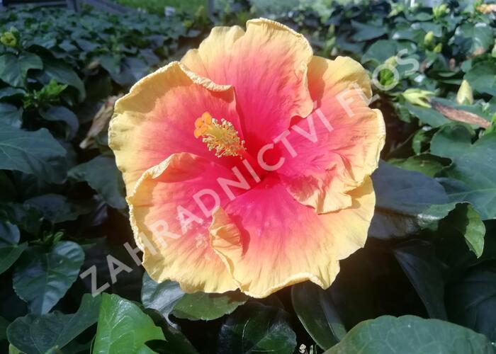 Ibišek čínský, čínská růže - Hibiscus rosa-sinensis