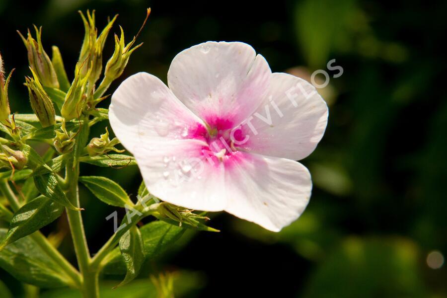 Plamenka latnatá 'Flame Pro Soft Pink' - Phlox paniculata 'Flame Pro Soft Pink'