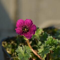Kakost sivý 'Purple Pillow' - Geranium cinereum 'Purple Pillow'