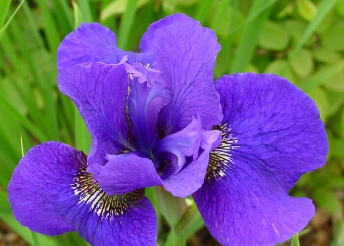 Kosatec sibiřský 'Dark Cirkle' - Iris sibirica 'Dark Circle'