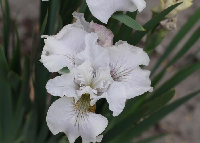 Kosatec sibiřský 'Not Quite White' - Iris sibirica 'Not Quite White'