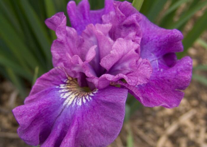 Kosatec sibiřský 'Rosy Bows' - Iris sibirica 'Rosy Bows'