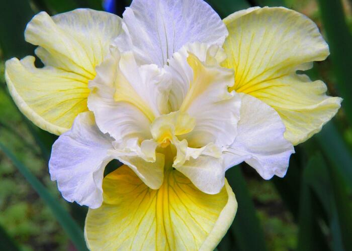 Kosatec sibiřský 'Yellow Tail' - Iris sibirica 'Yellow Tail'