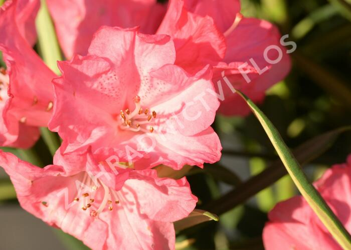 Pěnišník 'Ana' - Rhododendron (Y) 'Ana'