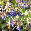 Plicník 'Blaues Meer' - Pulmonaria angustifolia 'Blaues Meer'