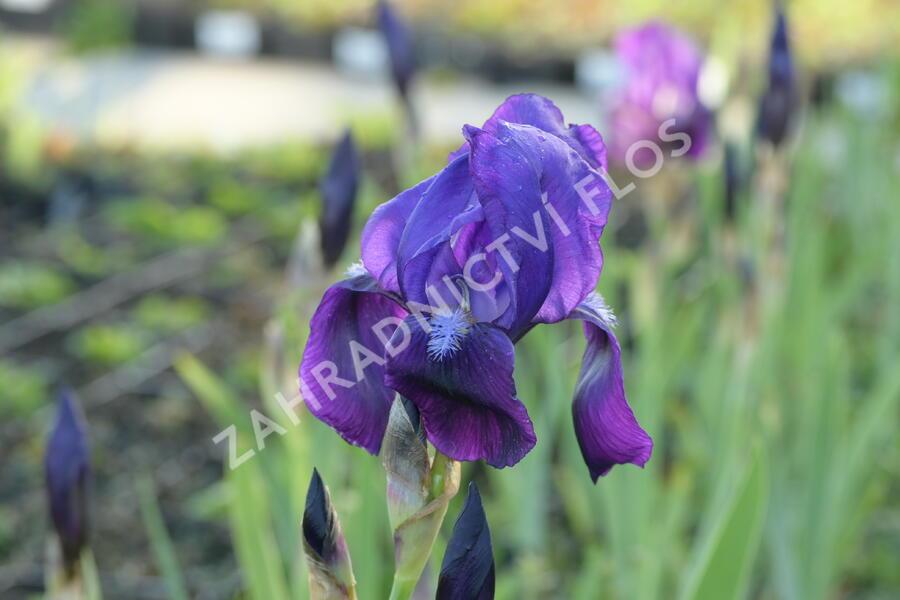 Kosatec německý 'Black Knight' - Iris barbata-elatior 'Black Knight'