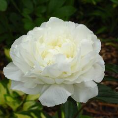 Pivoňka bělokvětá 'Snow Supreme' - Paeonia lactiflora 'Snow Supreme'