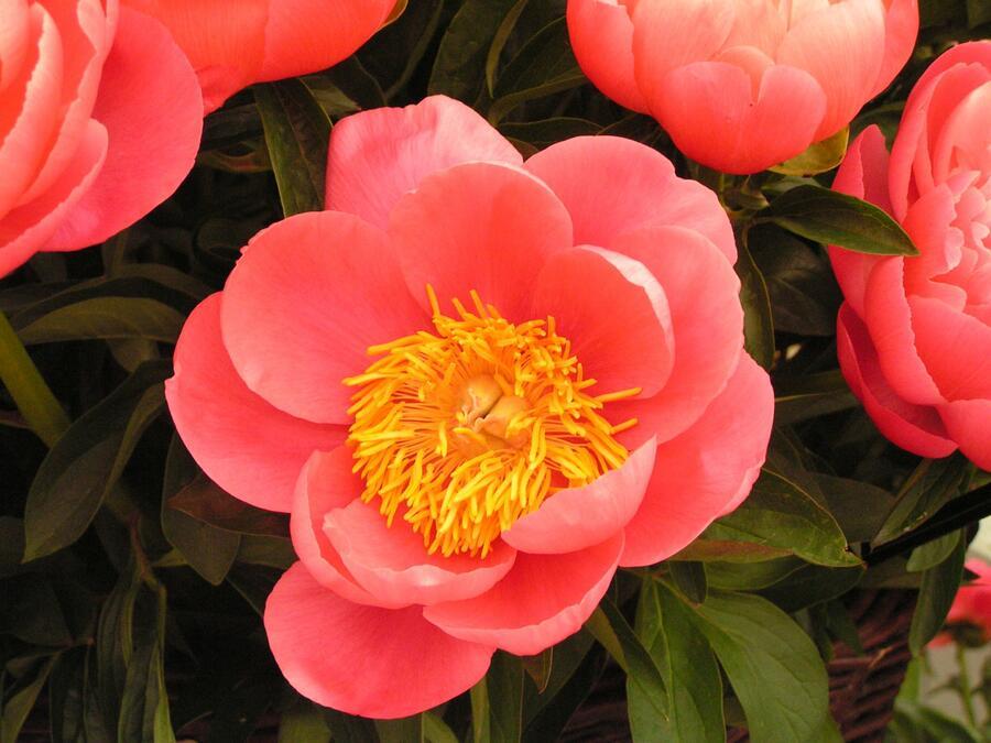 Pivoňka bělokvětá 'Coral Sunset' - Paeonia lactiflora 'Coral Sunset'