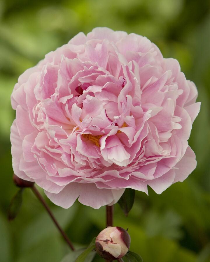 Pivoňka bělokvětá 'Sarah Bernhardt' - Paeonia lactiflora 'Sarah Bernhardt'