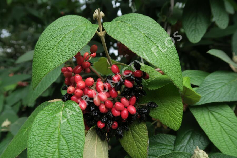 Kalina vrásčitolistá - Viburnum rhytidophyllum