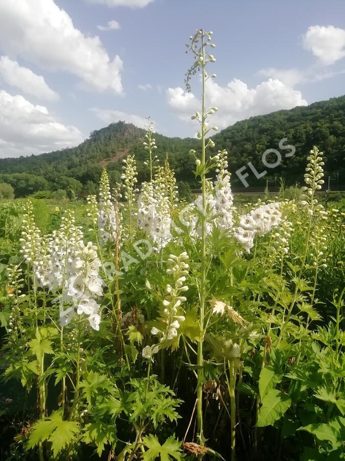 Ostrožka 'White/Dark Bee' - Delphinium Magic Fountain 'White/Dark Bee'