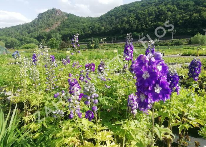 Ostrožka 'Dark Blue/White Bee' - Delphinium Magic Fountain 'Dark Blue/White Bee'
