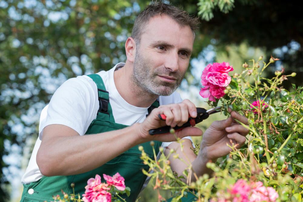 zahradník pečuje o růže