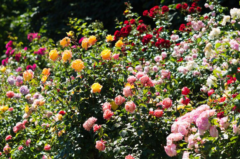 Na růžích ustláno: pestrá nabídka pro milovníky růží!