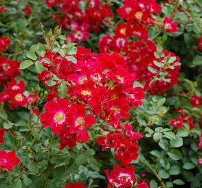 Růže mnohokvětá Meilland 'Red Meidiland' - Rosa MK 'Red Meidiland'