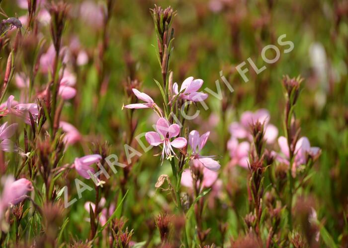 Svíčkovec 'Baby Butterfly Dark Pink' - Gaura lindheimeri 'Baby Butterfly Dark Pink'