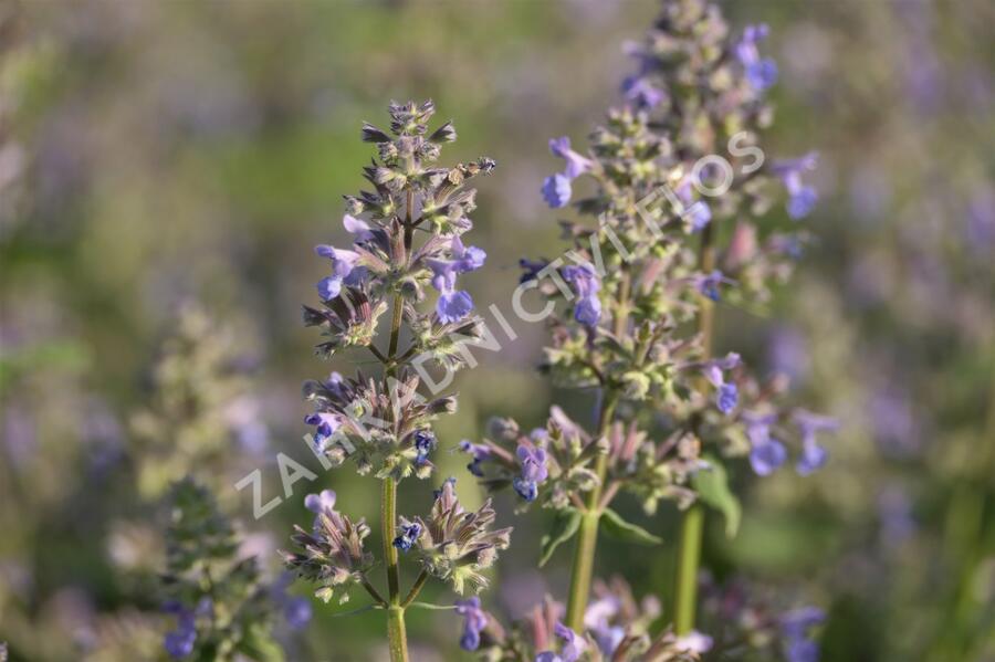 Šanta 'Summer Magic' - Nepeta grandiflora 'Summer Magic'