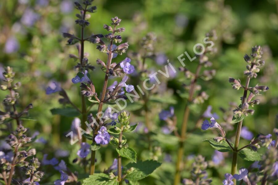 Šanta 'Purrsian Blue' - Nepeta x faassenii 'Purrsian Blue'