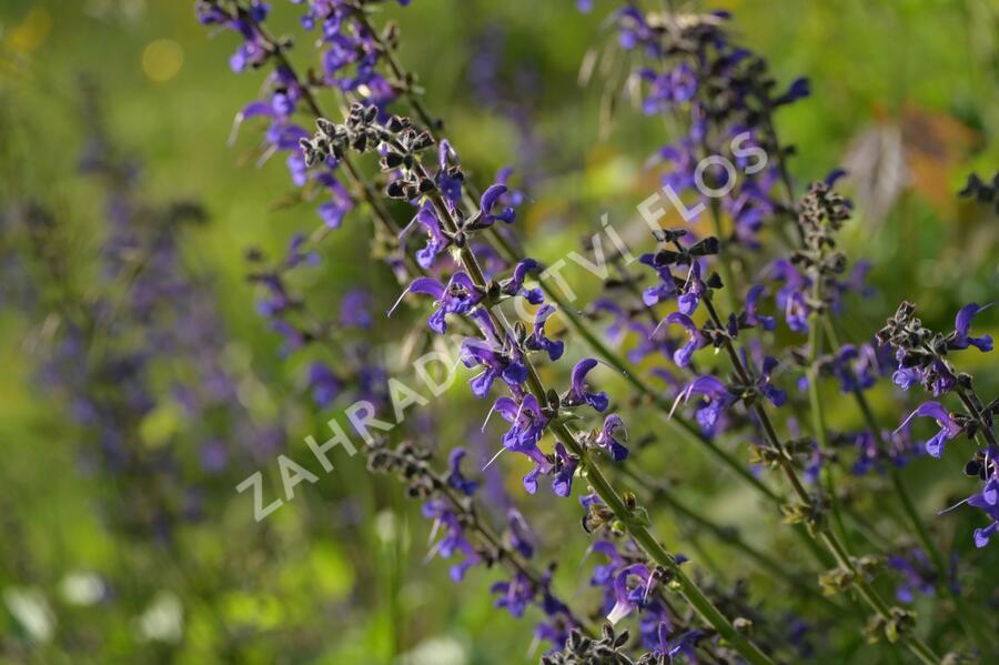 Šalvěj luční - Salvia pratensis