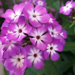 Plamenka latnatá 'Flame Pro Soft Purple' - Phlox paniculata 'Flame Pro Purple'