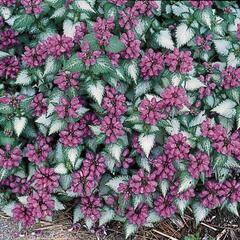 Hluchavka skvrnitá 'Purple Dragon' - Lamium maculatum 'Purple Dragon'