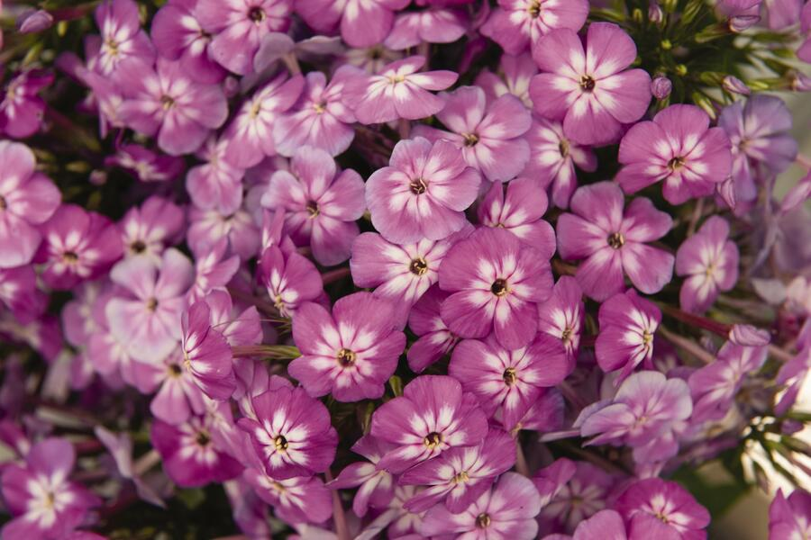Plamenka latnatá 'Flame Pro Violet Charme' - Phlox paniculata 'Flame Pro Violet Charme'