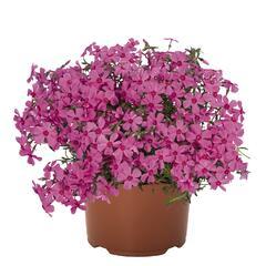 Plamenka šídlovitá 'Spring Pink' - Phlox subulata 'Spring Pink'