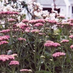 Řebříček obecný 'Appleblosom' - Achillea millefolium 'Appleblosom'