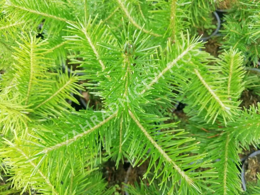 Jedle sibiřská - Abies sibirica