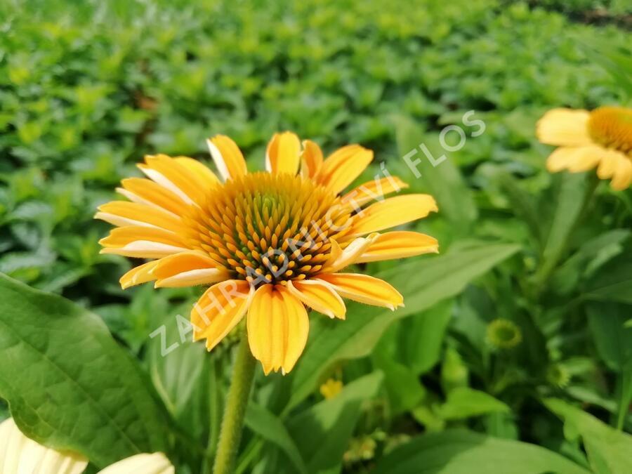 Třapatka nachová 'Tweety' - Echinacea purpurea 'Tweety'