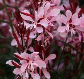 Svíčkovec 'Graceful Light Pink' - Gaura lindheimeri 'Graceful Light Pink'