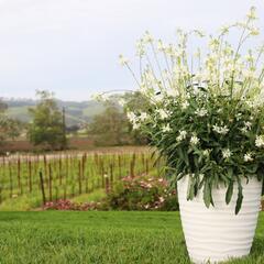 Svíčkovec 'Graceful White' - Gaura lindheimeri 'Graceful White'
