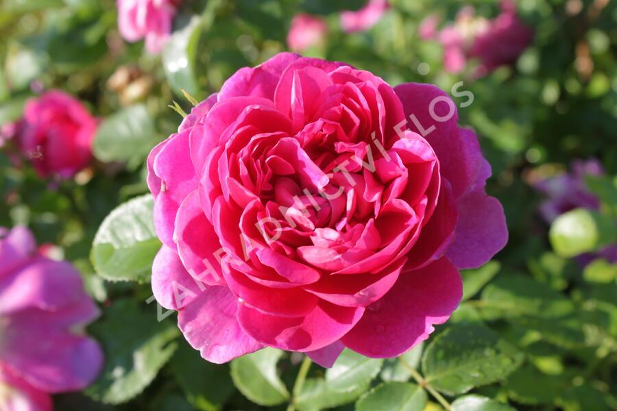 Violka růžkatá 'Bowles Black' - Viola cornuta 'Bowles Black'
