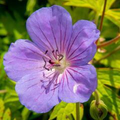 Kakost 'Blue Sunrise' - Geranium 'Blue Sunrise'