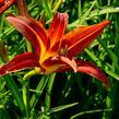 Denivka 'Autumn Red' - Hemerocallis 'Autumn Red'