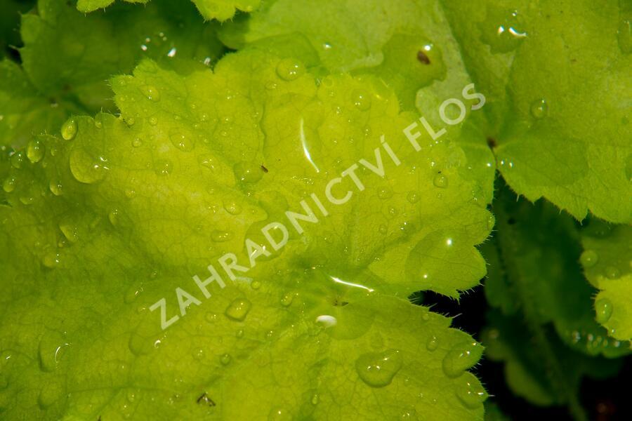 Dlužicha 'Pretty Perinne' - Heuchera hybrida 'Pretty Perinne'