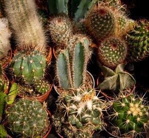 Kaktus mix - Cactus mix