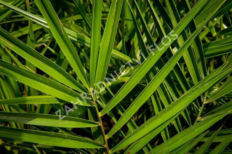 Datlovník kanárský - Phoenix canariensis