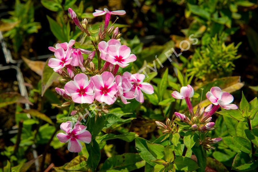 Plamenka latnatá 'Early Pink Candy' - Phlox paniculata 'Early Pink Candy'
