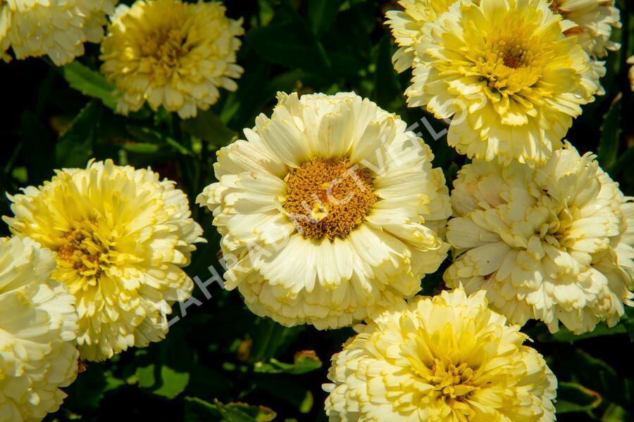 Kopretina největší 'Lemon Puff' - Leucanthemum maximum 'Lemon Puff'