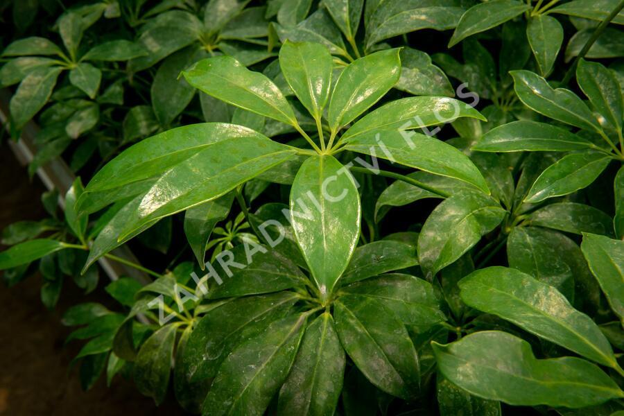Šeflera dlanitolistá - Schefflera arboricola