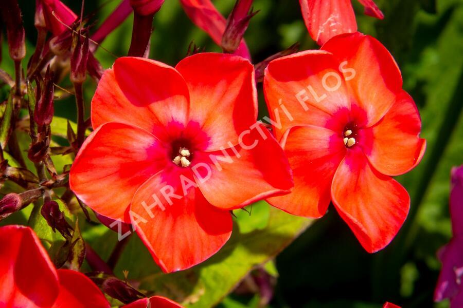 Plamenka latnatá 'Flame Pink' - Phlox paniculata 'Flame Pink'